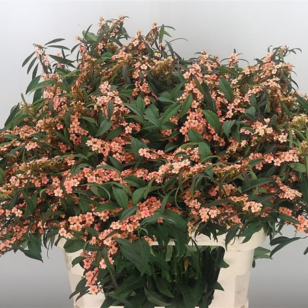 Euphorbia Fire King