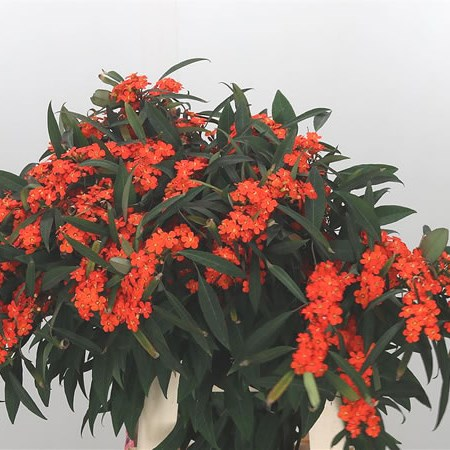 Euphorbia Orange Queen