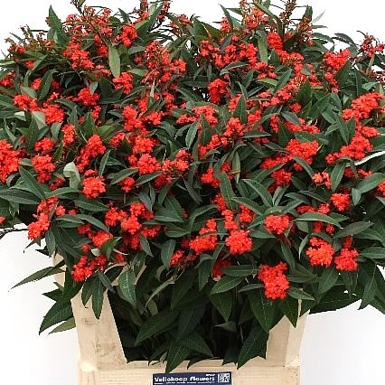 Euphorbia Red Surprise