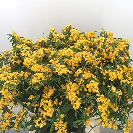 Euphorbia Yellow River