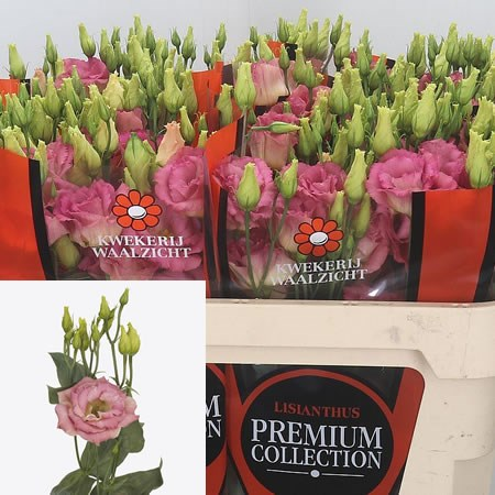 Eustoma Lisianthus Dbl. Megalo Light Champagne