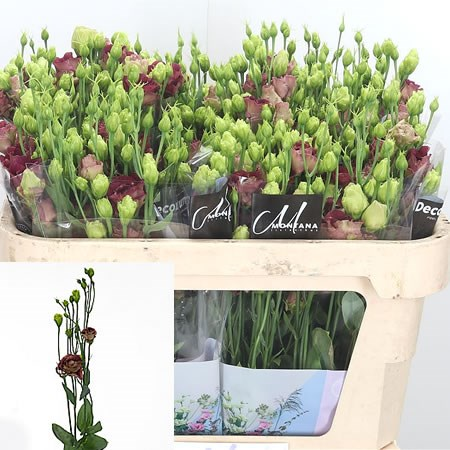 Eustoma Lisianthus Dbl. Rosanne Deep Brown