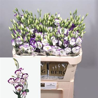 Eustoma Lisianthus Piccolo Blue Rim