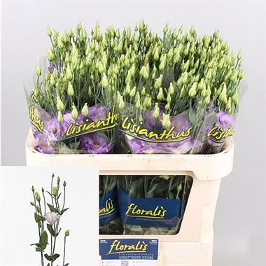 Eustoma Lisianthus dbl. Surprise Misty Blue