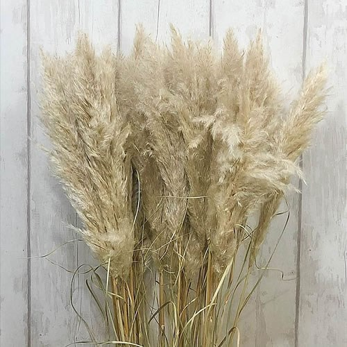 A1 Cortaderia Pampas Grass Evita (Dried)