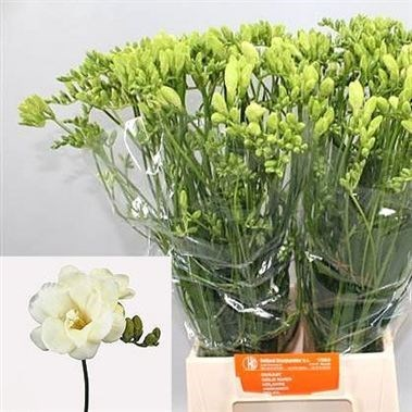 FREESIA DOUBLE VOLANTE
