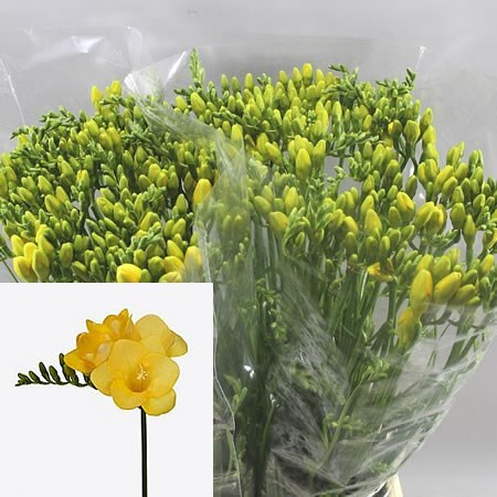 FREESIA YELENA SINGLE