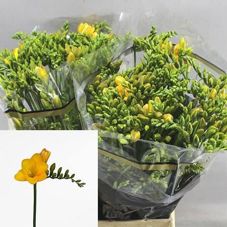 FREESIA YELLOW PASSION SINGLE