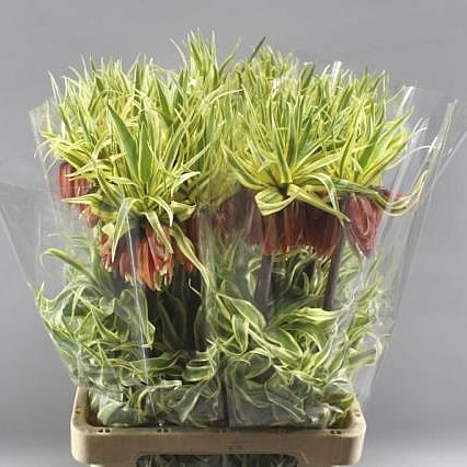 FRITILLARIA IMPERIAL (VARIEGATED)