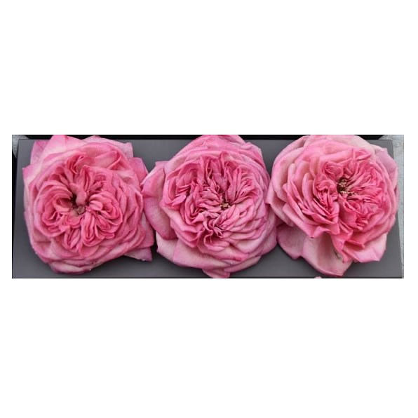 Freeze Dried Mariatheresia Roses