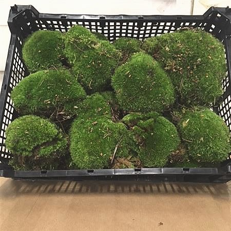 Cushion Moss (Bun Moss)