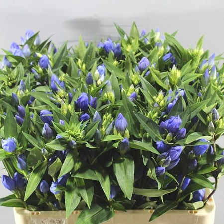 GENTIANA JUST BLUE