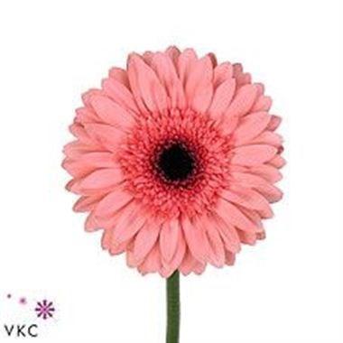 Gerbera | Wholesale Flowers UK | Wedding Flowers | Triangle Nursery