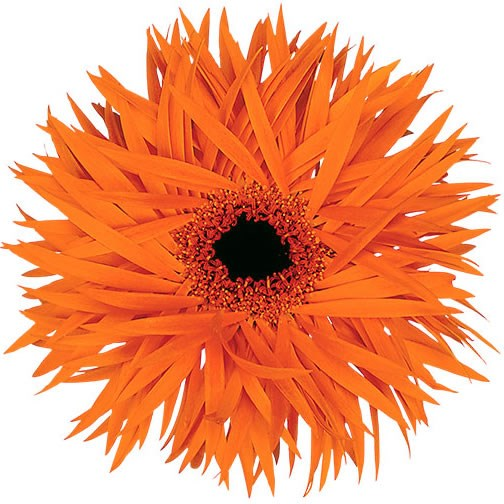 GERBERA SPRINGS ORANGE