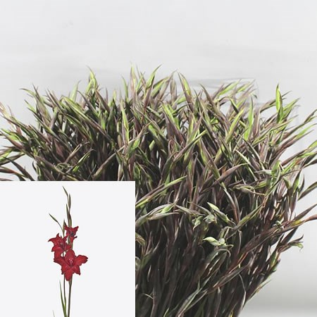 GLADIOLI MINI RED DRIZZLE