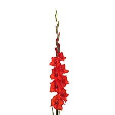 GLADIOLI RED MAGMA