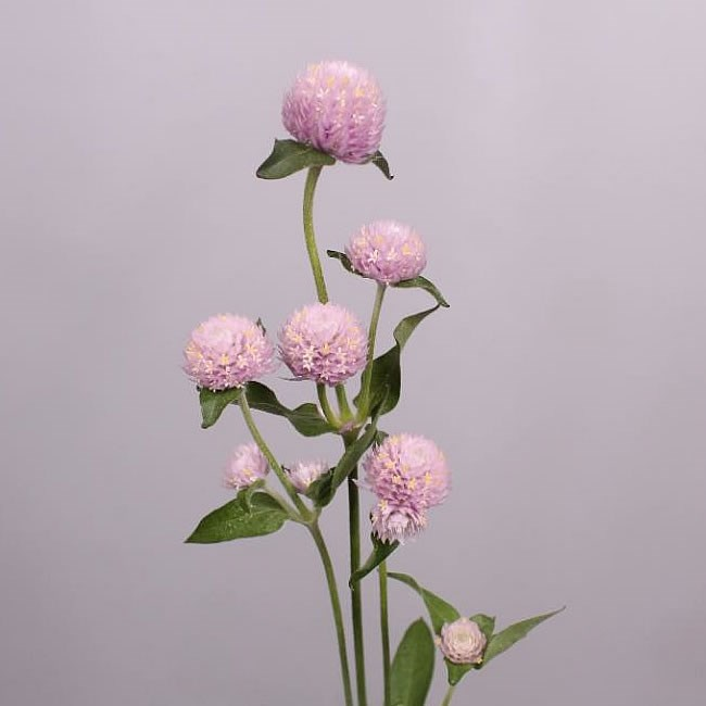 GOMPHRENA LIGHT PINK