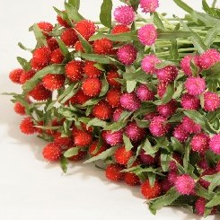 GOMPHRENA MIX (COLS MAY VARY)