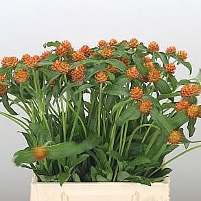 GOMPHRENA ORANGE