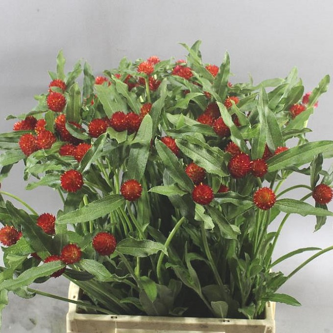 GOMPHRENA STRAWBERRY