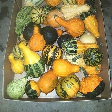 GOURDS - PEPO MIX