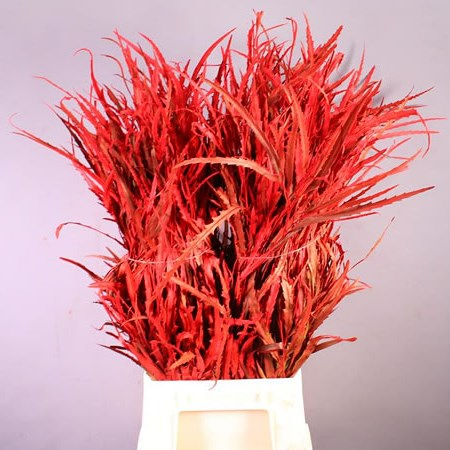 GREVILLEA DYED RED