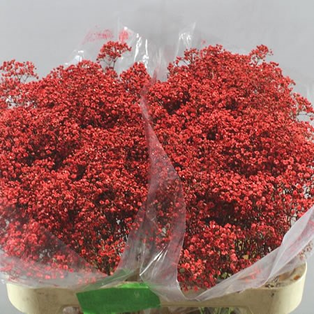 GYPSOPHILA DYED RED