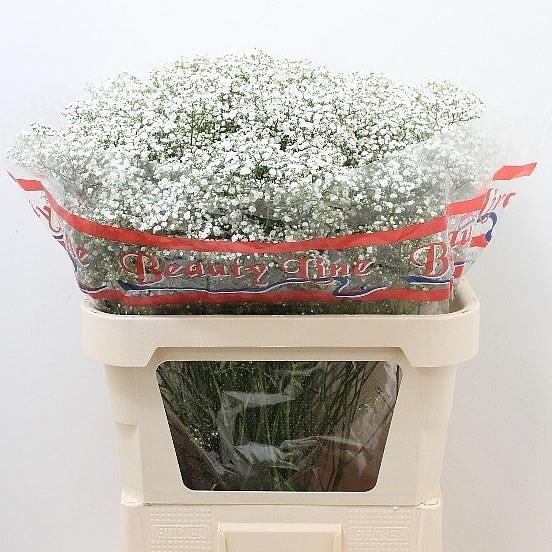 GYPSOPHILA GALAXY MILLION STAR