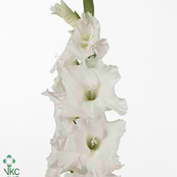 Gladioli Large Essential