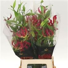 Gloriosa Red (long)