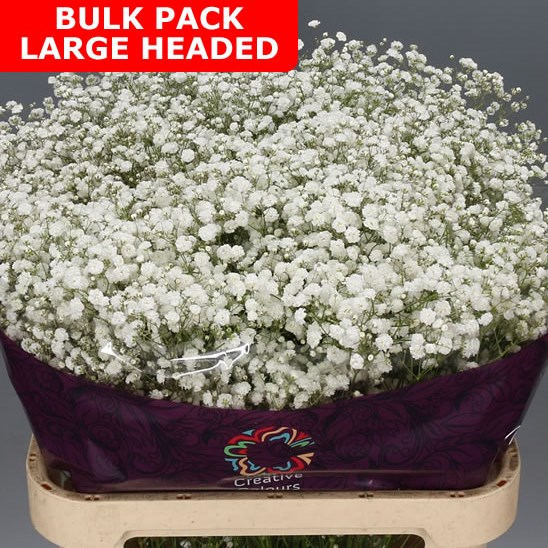 Gypsophila Bulk Pack - Large Headed