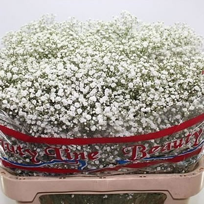 Gypsophila Starry Night
