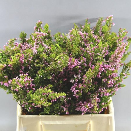 HEATHER - PRINCE OF WALES