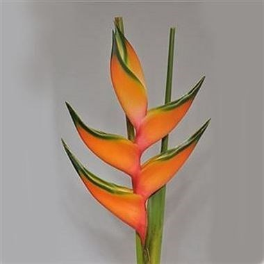 HELICONIA PEACHY PINK