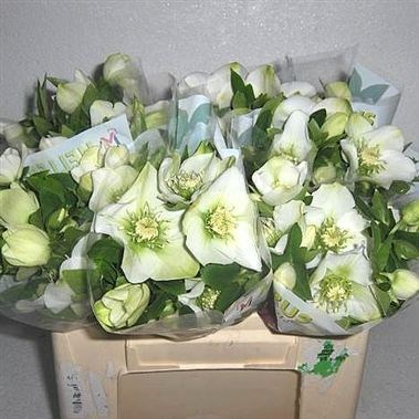 HELLEBORES QUEENS WHITE