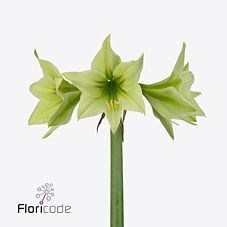 HIPPEASTRUM GREEN VALLEY