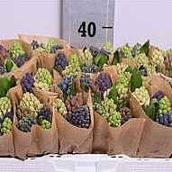 Weekly special - HYACINTH MIX