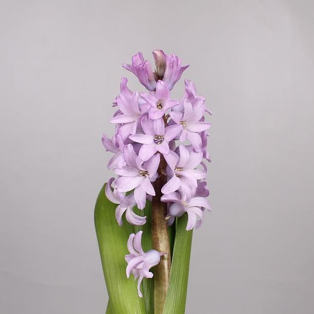 HYACINTHS PURPLE STAR