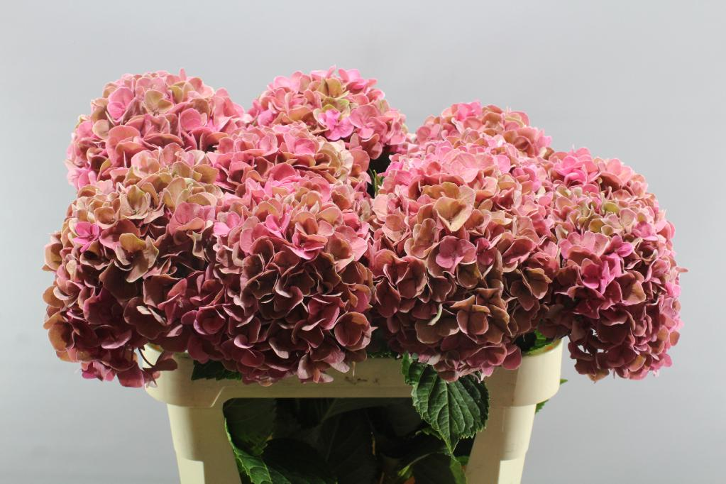 HYDRANGEA CANDY MOMENT CLASSIC