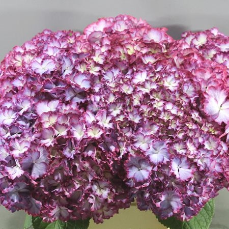 HYDRANGEA COLOUR DREAM