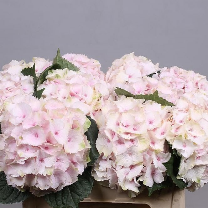 HYDRANGEA MAGICAL EMERALD LIGHT PINK