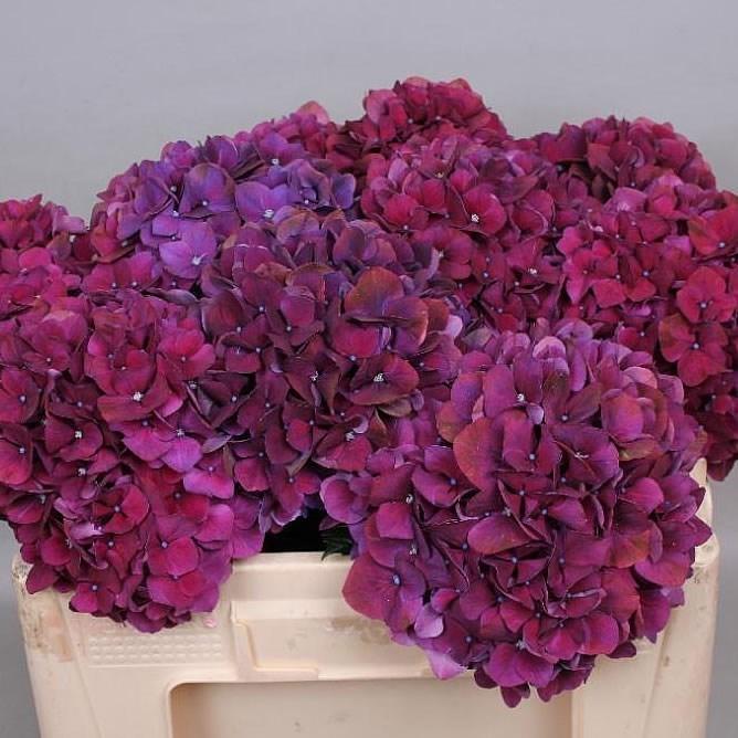 Hydrangea wholesale flowers uk wedding flowers triangle nursery aalsmeer auction hydrangea magical ruby purple mightylinksfo