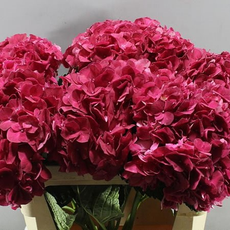 HYDRANGEA MAGICAL TROPHY RED