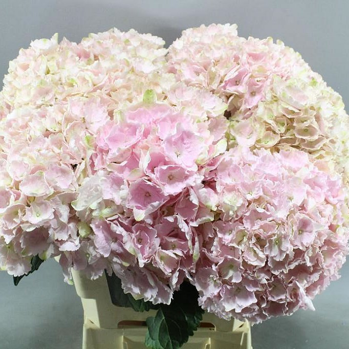 HYDRANGEA MY BEAUTIFUL ALANA
