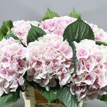 HYDRANGEA OLD DUTCH