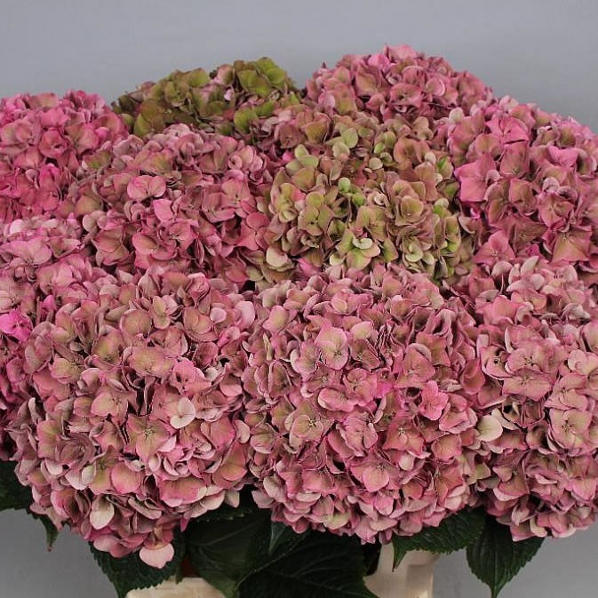 HYDRANGEA RODEO CLASSIC PINK