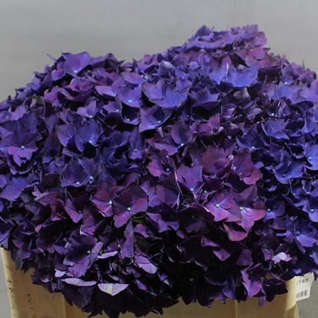 HYDRANGEA  ROYAL QUEEN