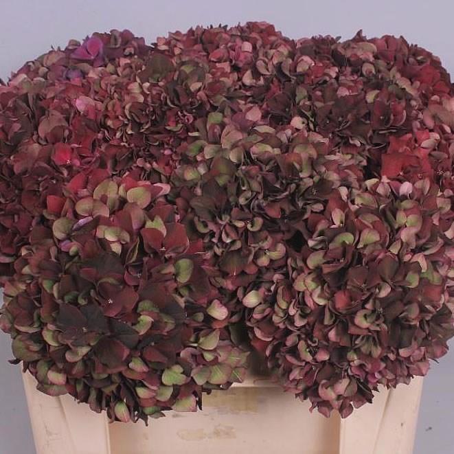 HYDRANGEA RUBY BURGUNDY CLASSIC