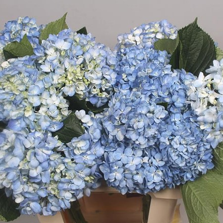 HYDRANGEA SHOCKING BLUE
