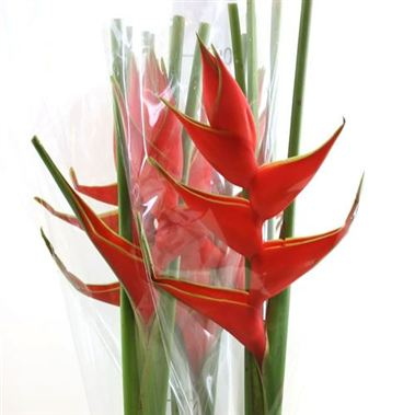 Heliconia Stricta  (Red Iris)